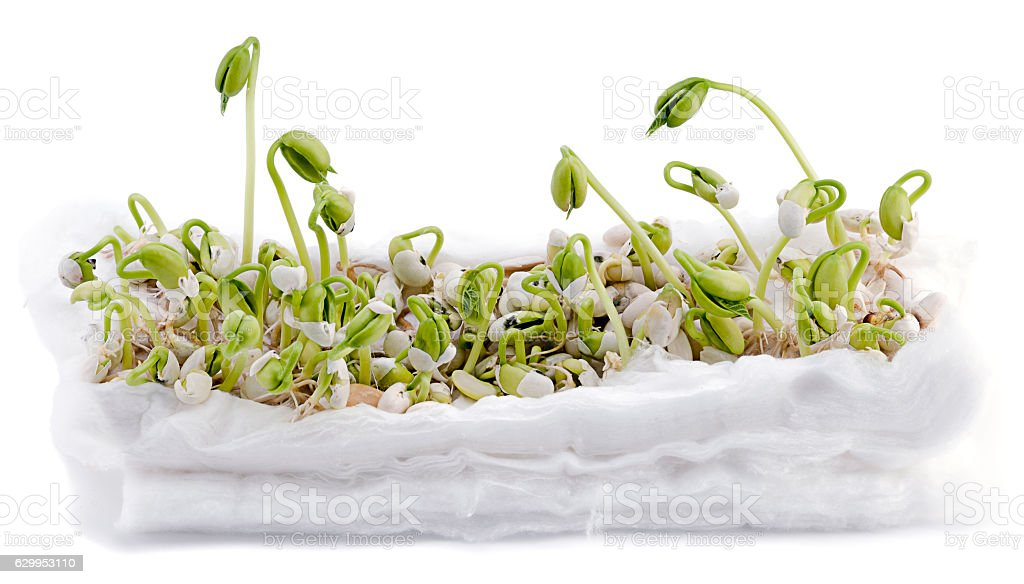 Child Project: Bean Experiment Isolated stock photo