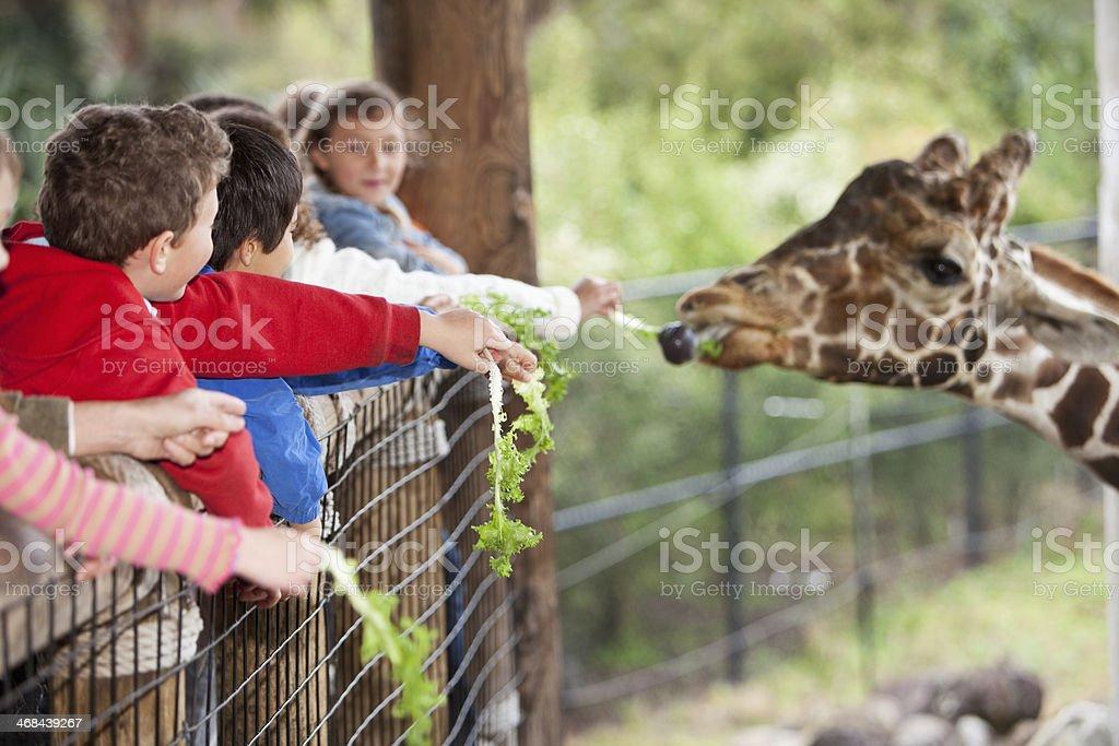 Children at zoo feeding giraffe stock photo