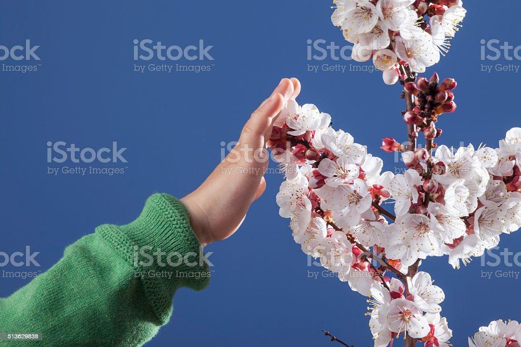 Children Hand Touching Plum Tree Blossom On Blue Sky Background stock photo