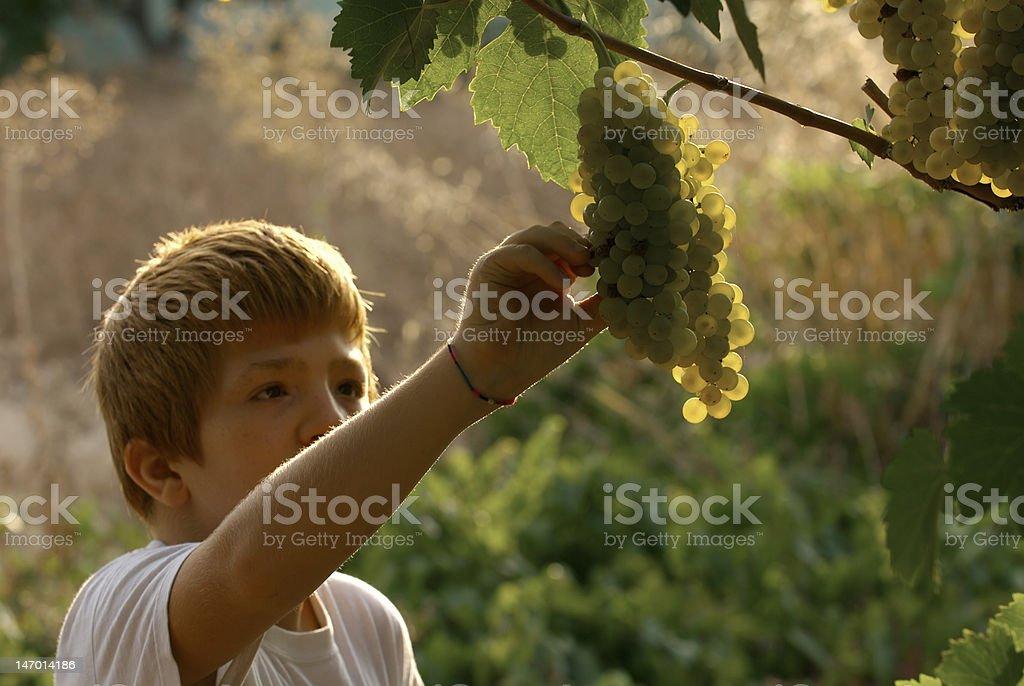 children picking grapes royalty-free stock photo