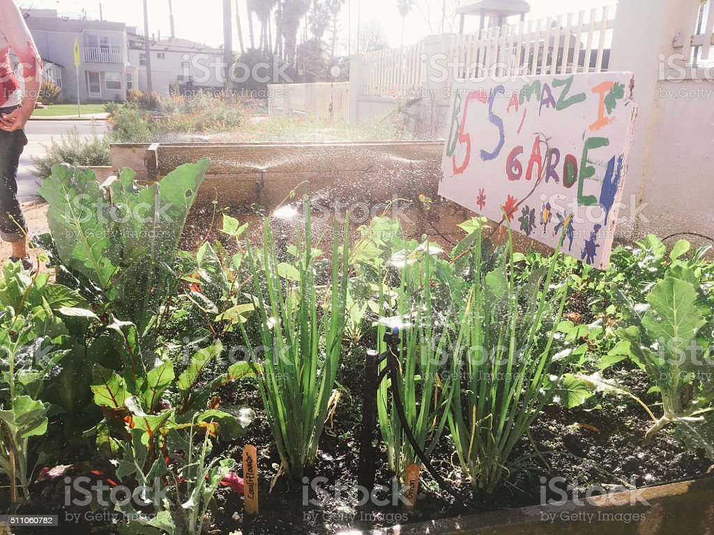 Children's school vegetable garden being watered stock photo