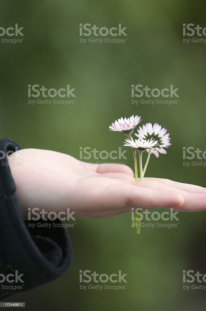 Child's Hand Holding 3 Daisies royalty-free stock photo