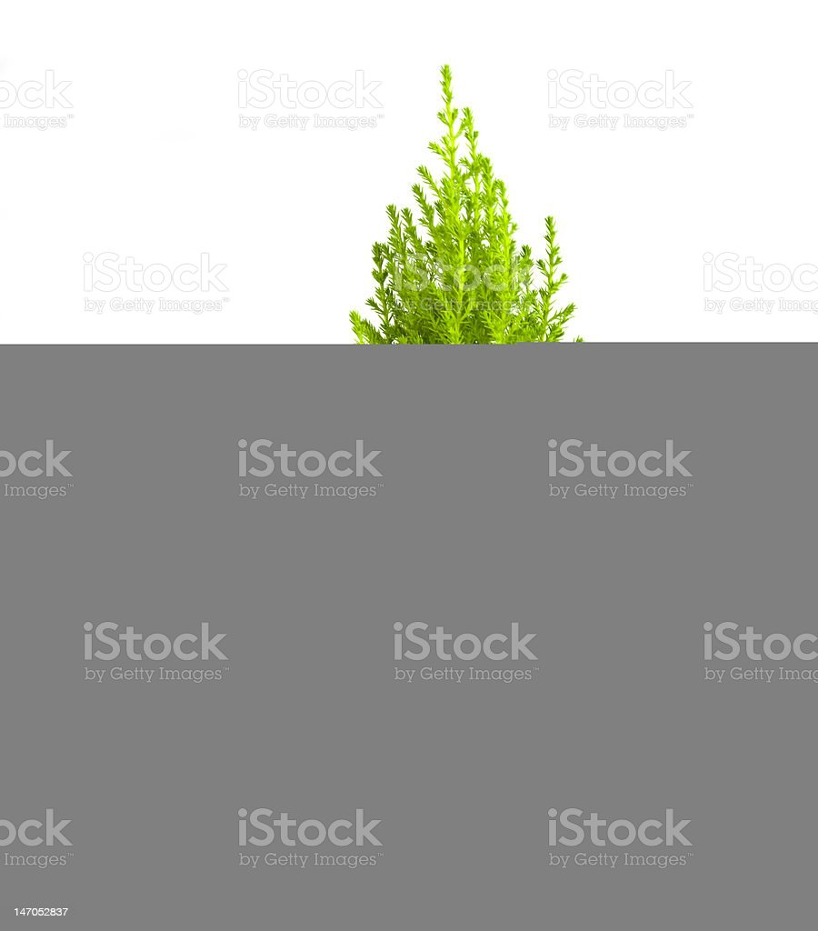 Child's Hands Holding Cypress Pine Tree Sapling, Isolated on White royalty-free stock photo