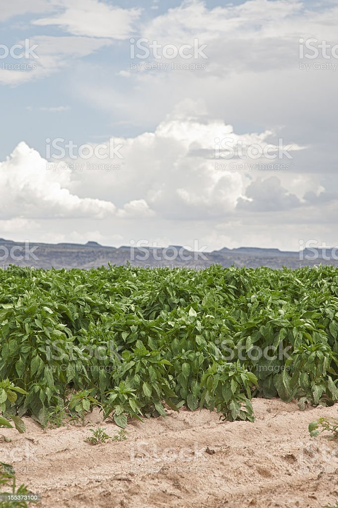 Chile Field near Hatch, New Mexico, USA stock photo