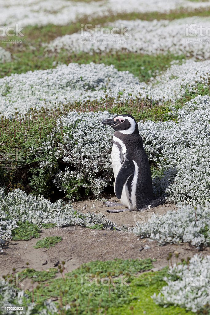 Chile Punta Arenas Magellanic Penguin royalty-free stock photo