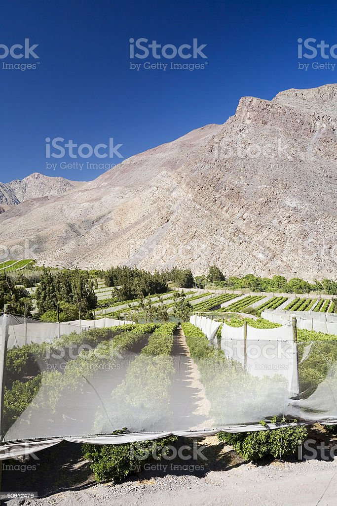 Chilean Agriculture. Fruit Plantation with Windbreaks stock photo