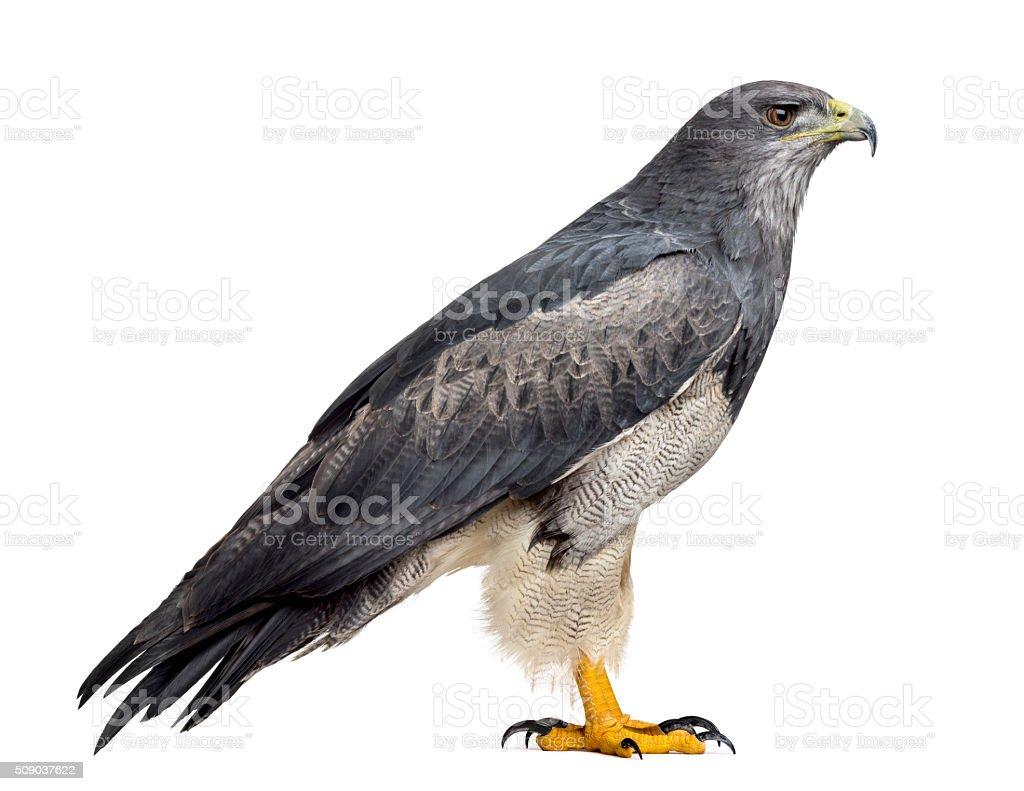 Chilean blue eagle - Geranoaetus melanoleucus (17 years old) stock photo