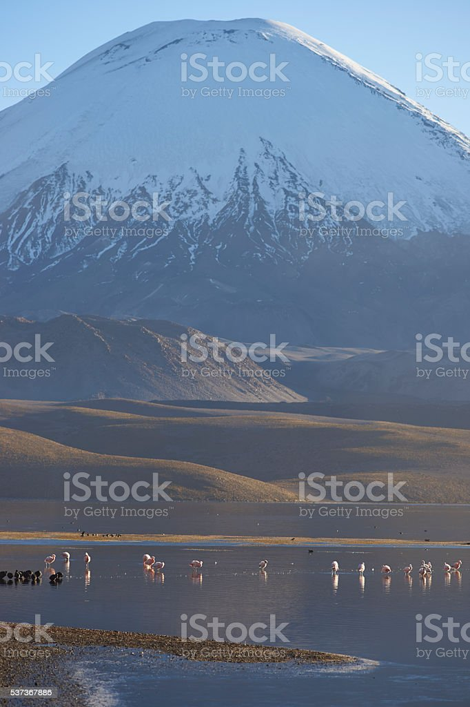 Chilean Flamingos on the Altiplano stock photo