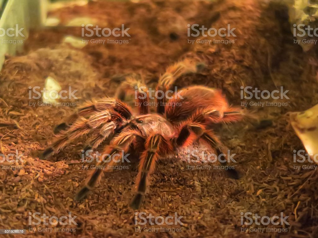Chilean rose tarantula stock photo