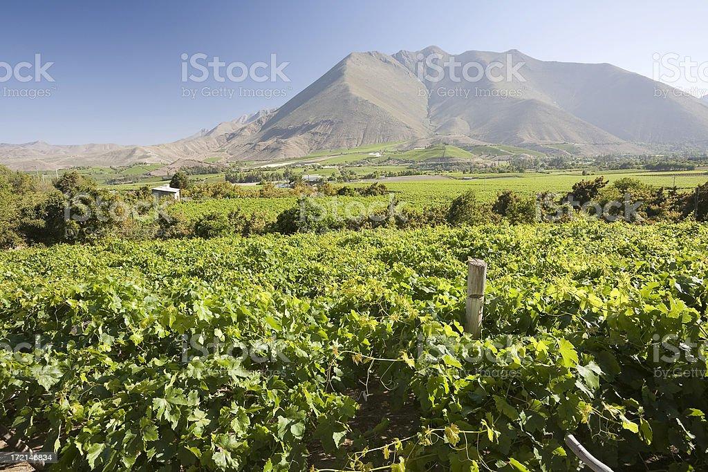 Chilean Vineyard royalty-free stock photo