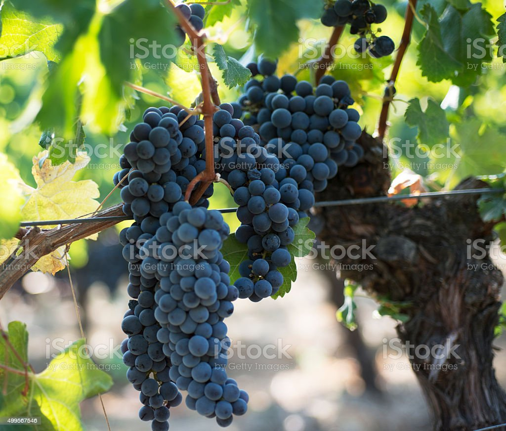 Chilean wine industry stock photo