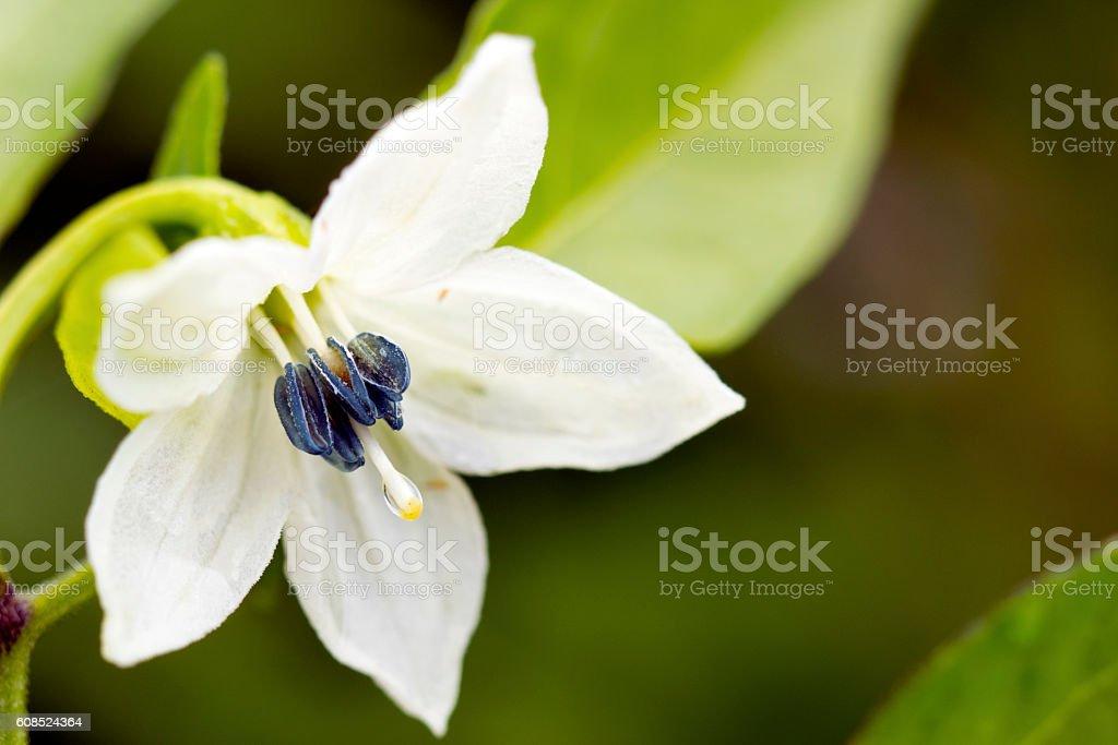 chili flower stock photo