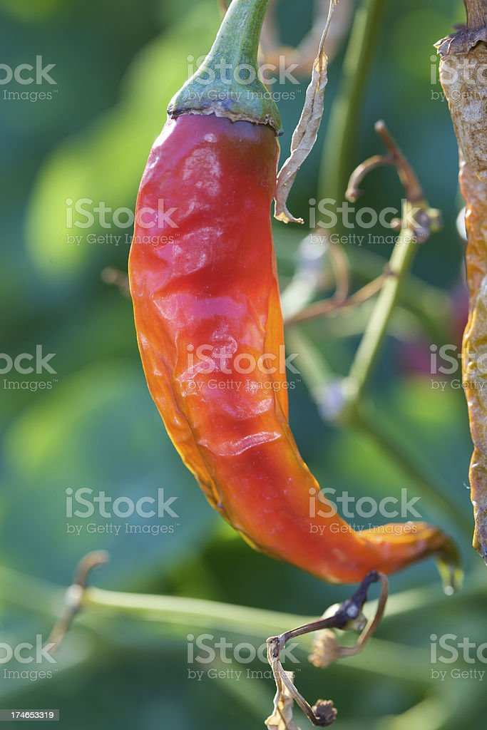 Peperoncino Chili foto stock royalty-free