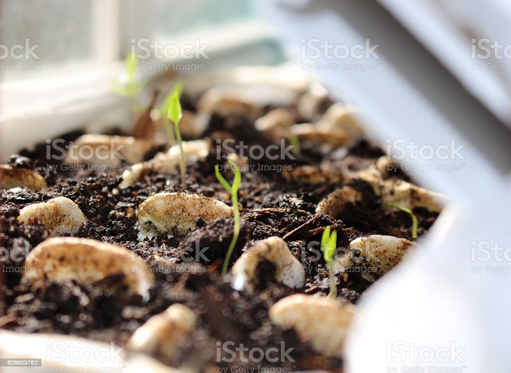 Chili Pepper seedlings stock photo