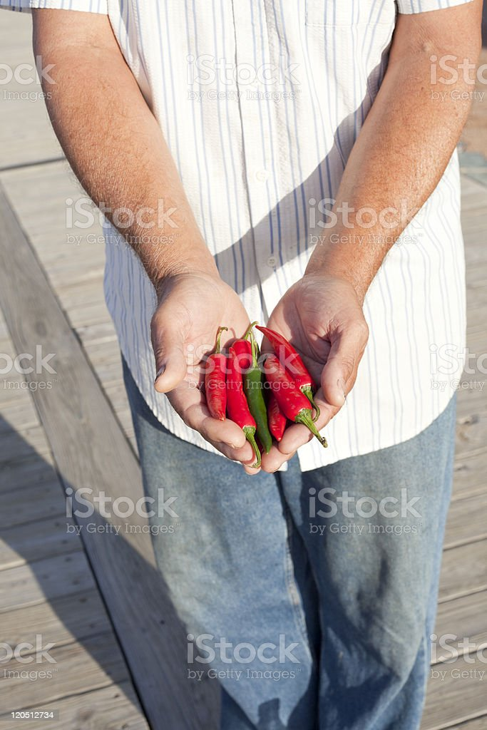 Chilipepper harvest. royalty-free stock photo