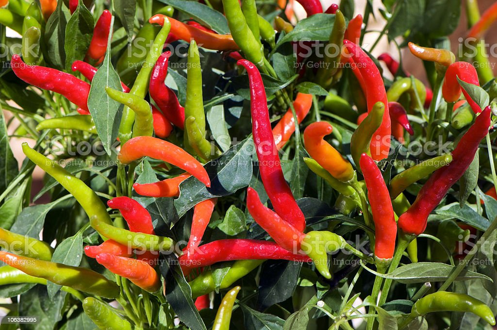 Chilli Pepper. Color Image royalty-free stock photo
