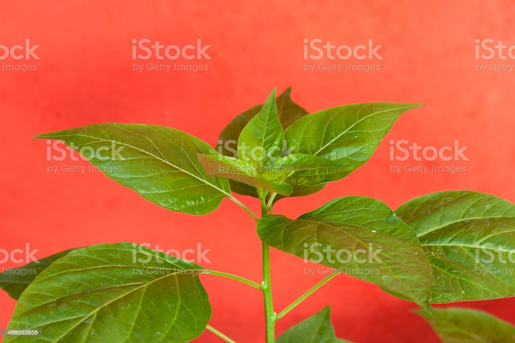 Chilli plant with red background royalty-free stock photo