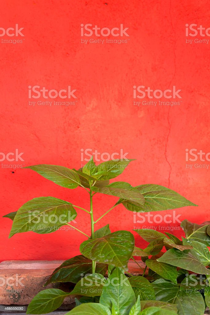 Chilli plant with red background Verticle royalty-free stock photo