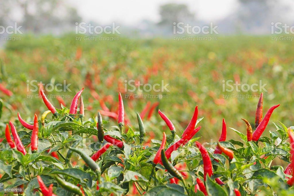 Chillies grow in farm stock photo