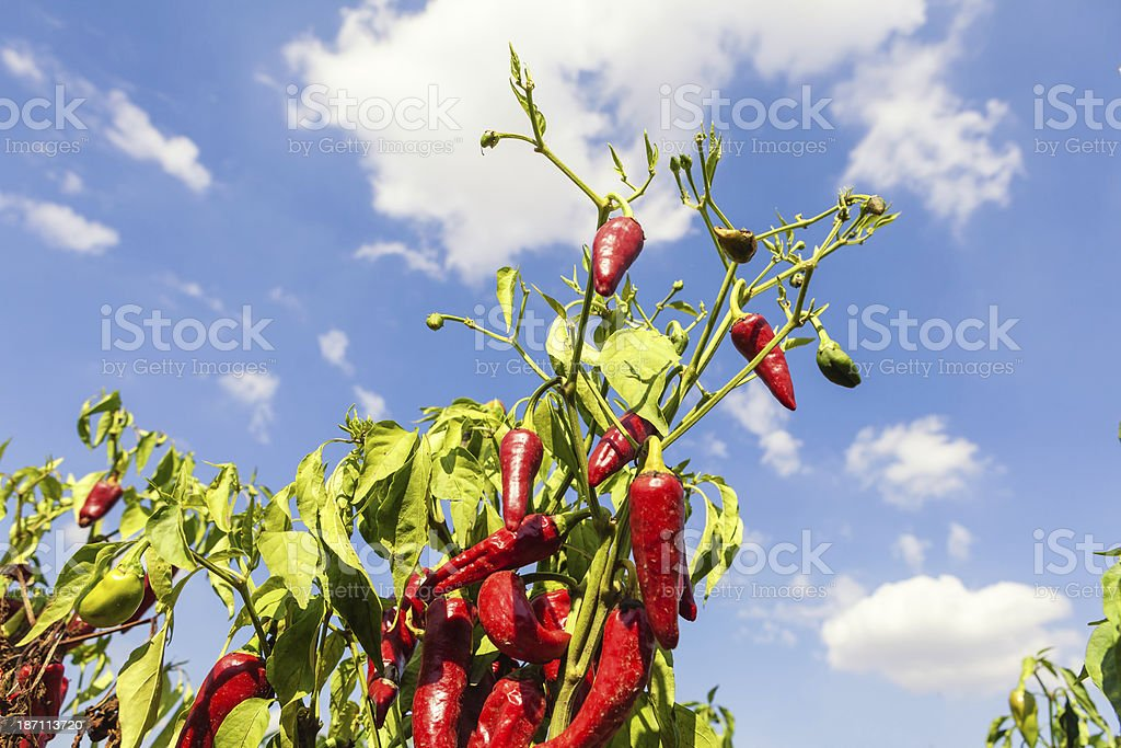 Chillies on field royalty-free stock photo