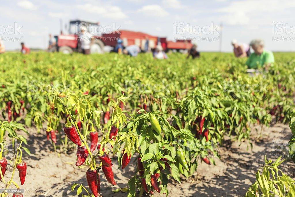 Chillies on field stock photo