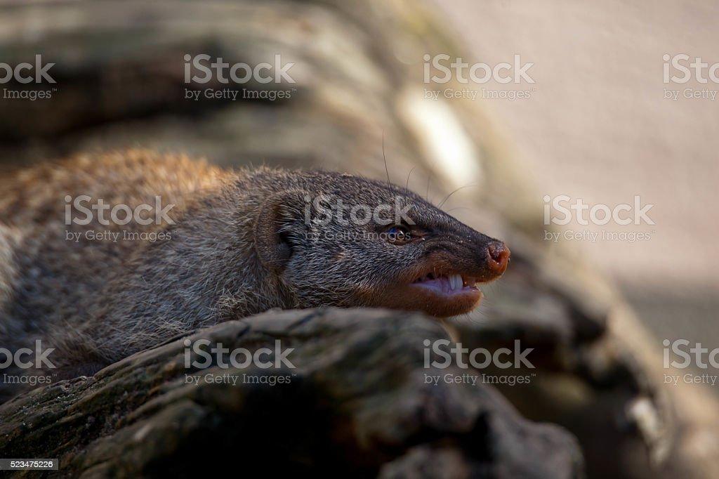 Chilling Meerkats stock photo