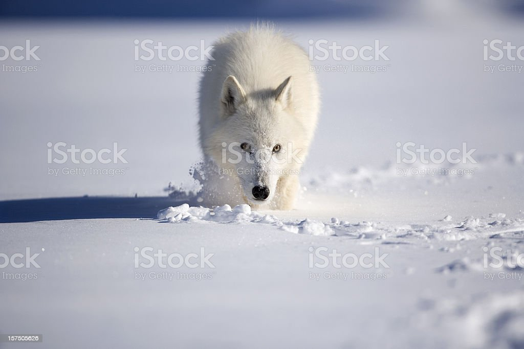 Chilling stare of an arctic wolf in wilderness. stock photo