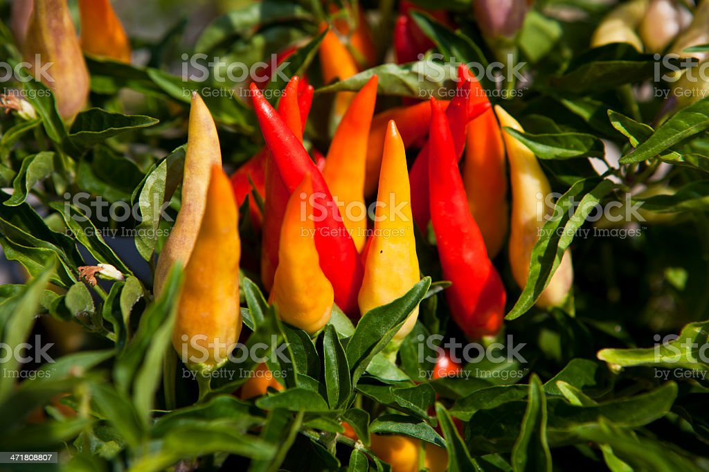 Chilly Chili royalty-free stock photo