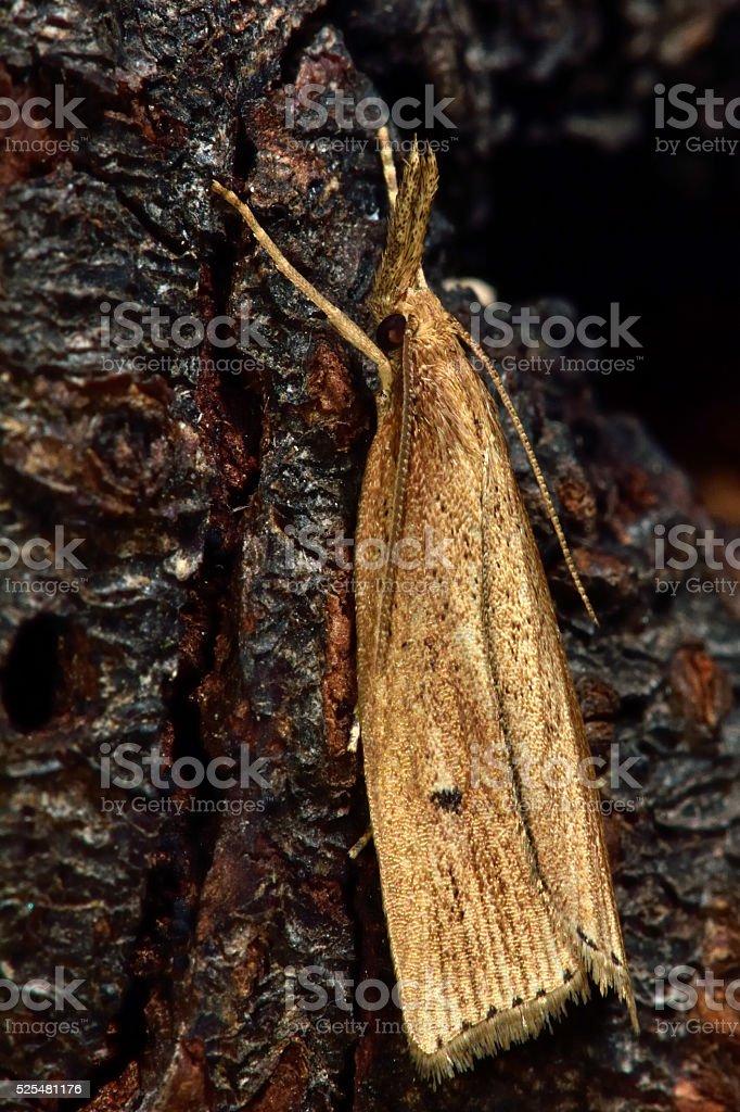 Chilo phragmitella micro moth stock photo
