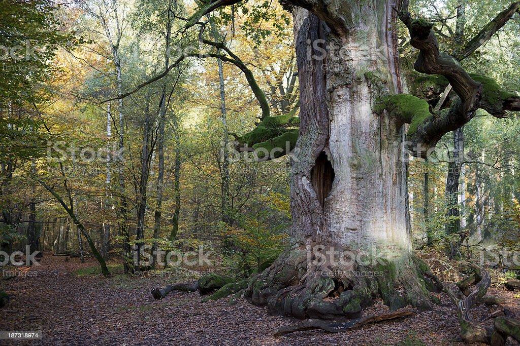 chimney oak near Kassel stock photo