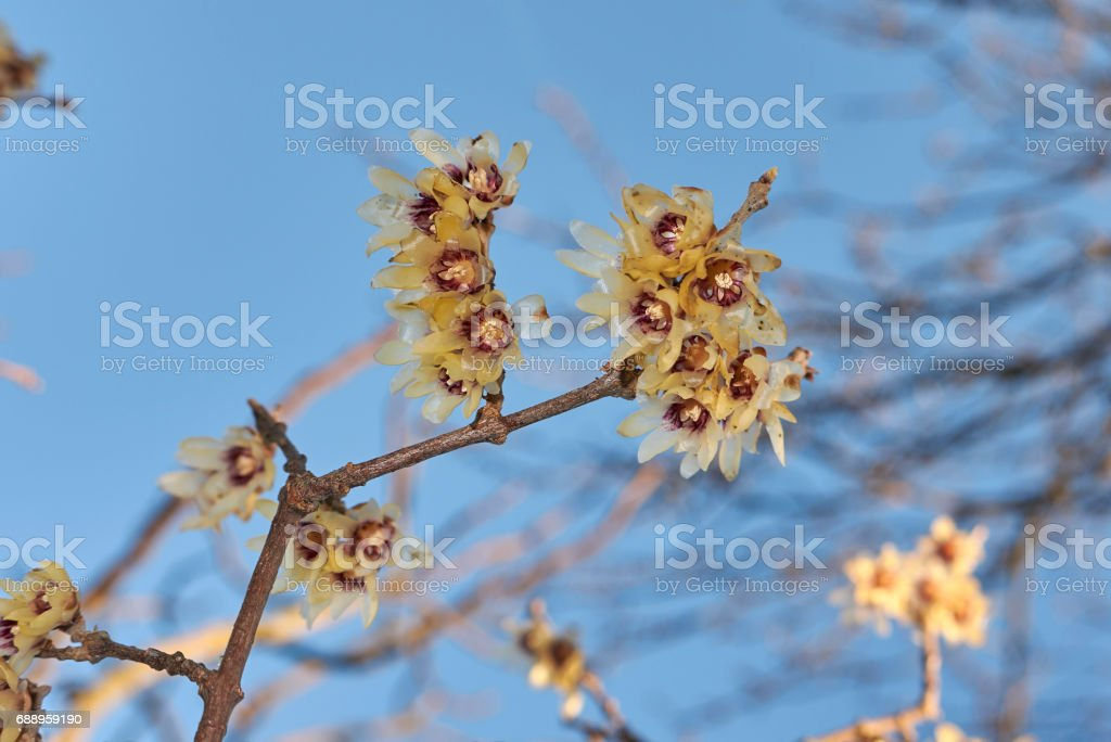 Chimonanthus praecox stock photo