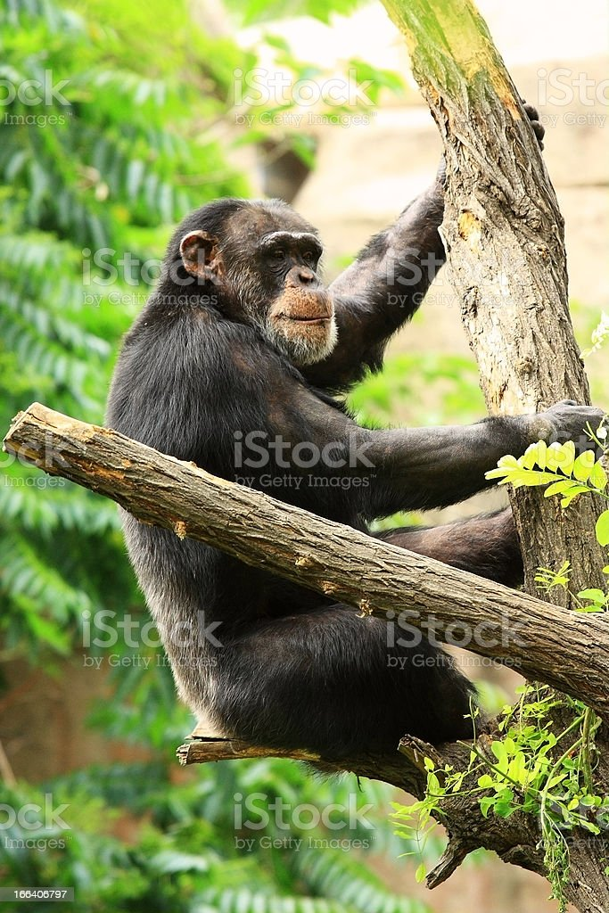 chimp on tree royalty-free stock photo