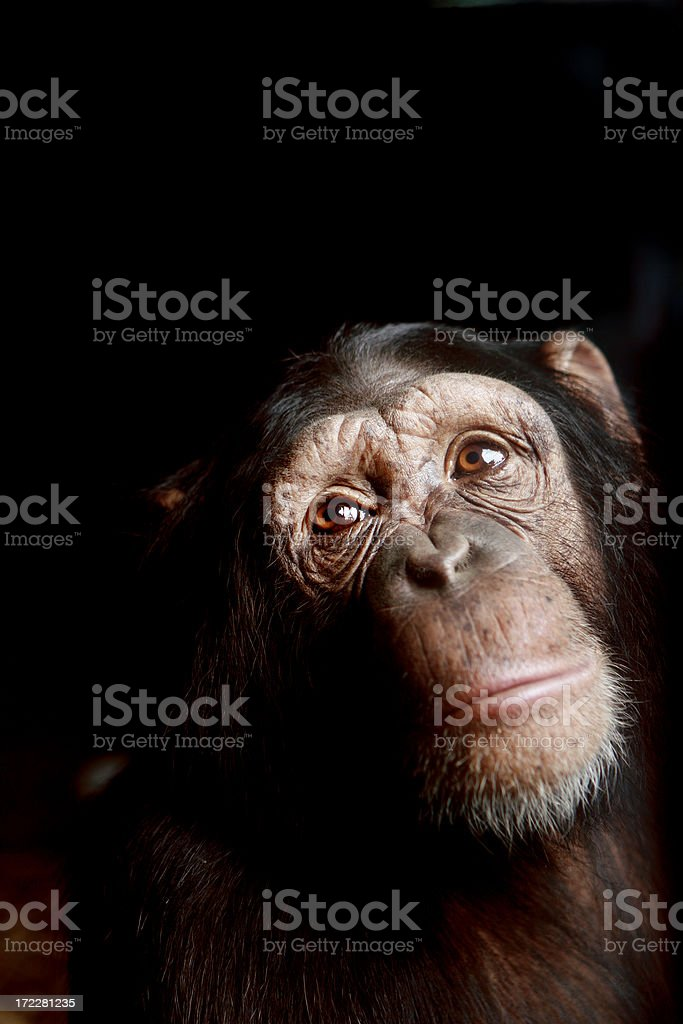 Chimp royalty-free stock photo