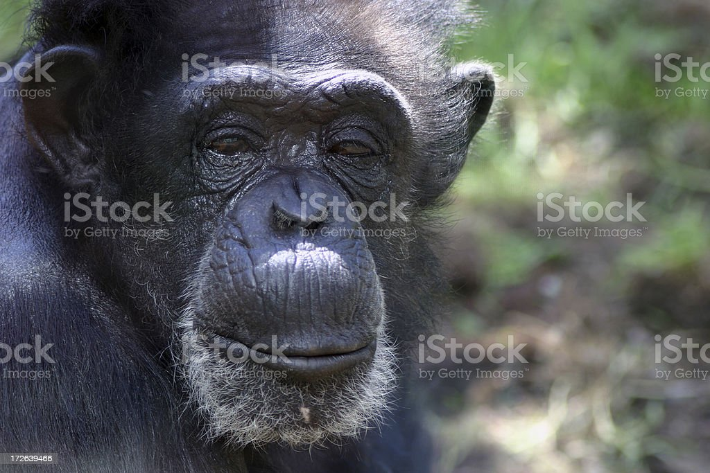chimp royalty-free stock photo