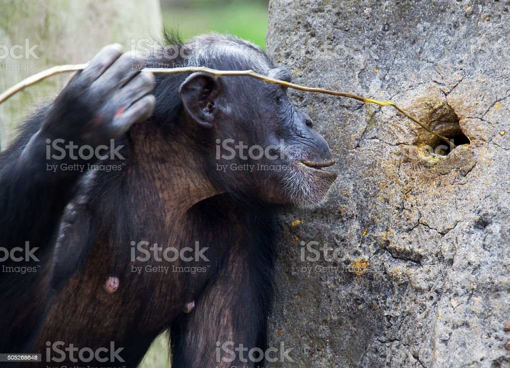 chimp using tools stock photo