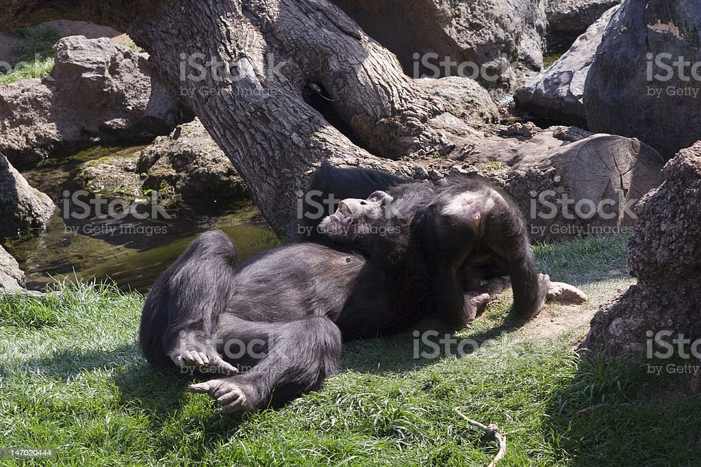 Chimpancés Jugando Lizenzfreies stock-foto