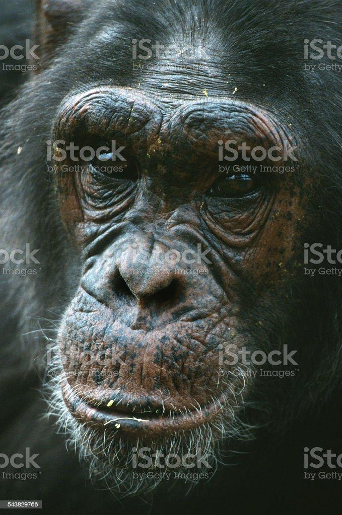 Chimpanzee adult whiskered face close up Uganda reserve stock photo