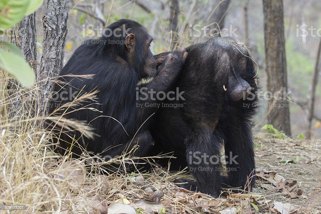Chimpanzee being groomed stock photo