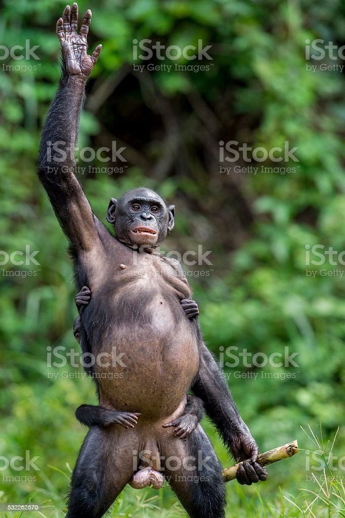 Chimpanzee Bonobo mother with child standing on her legs stock photo