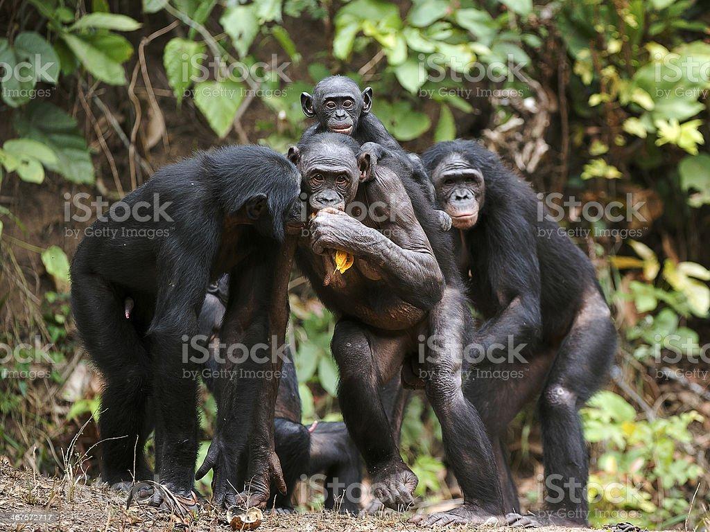 Chimpanzee bonobo ( Pan paniscus) stock photo