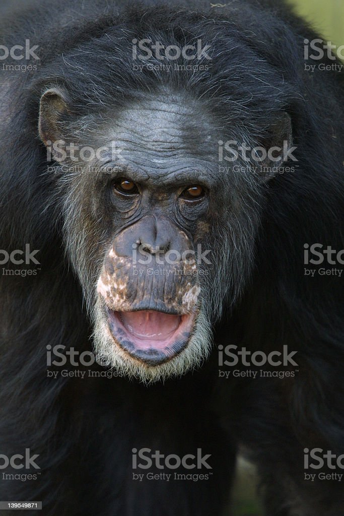 Chimpanzee closeup royalty-free stock photo