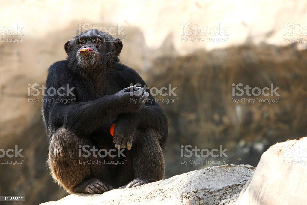 Chimpancé comiendo una manzana foto de stock libre de derechos