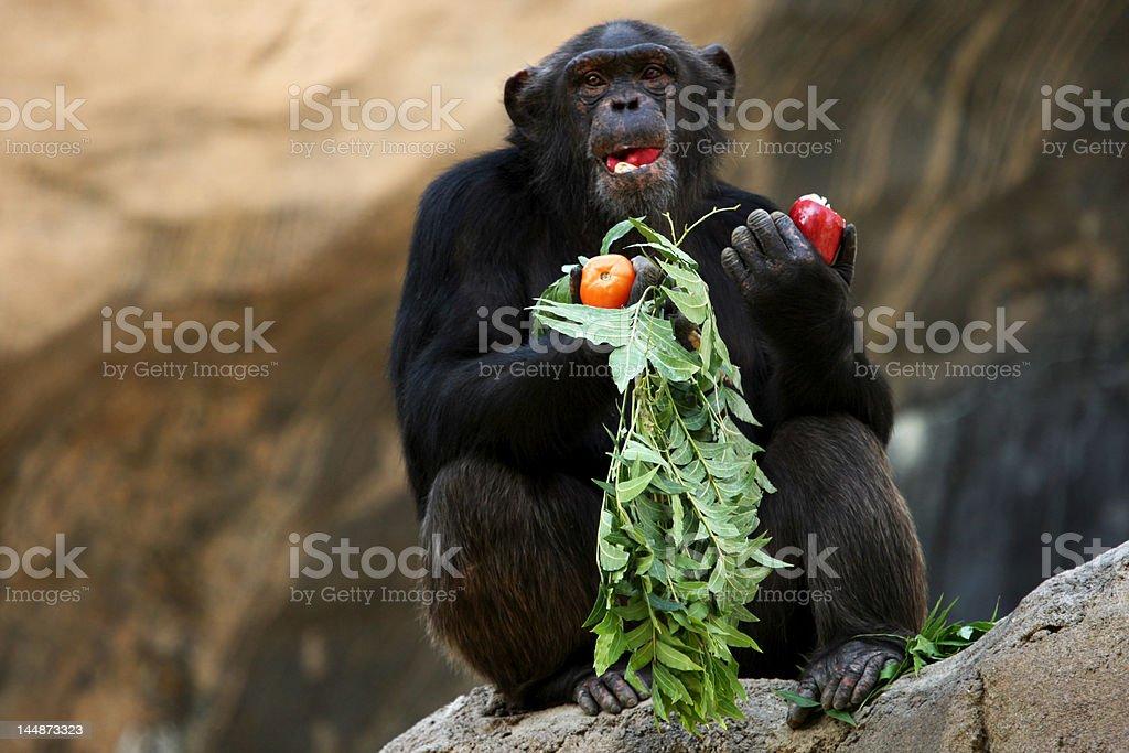 chimpanzee eating an apple royalty-free stock photo