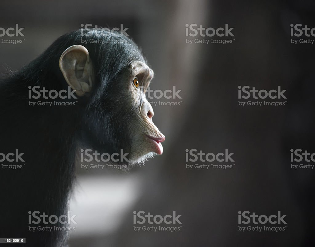 Chimpanzee funny face looking surprised stock photo