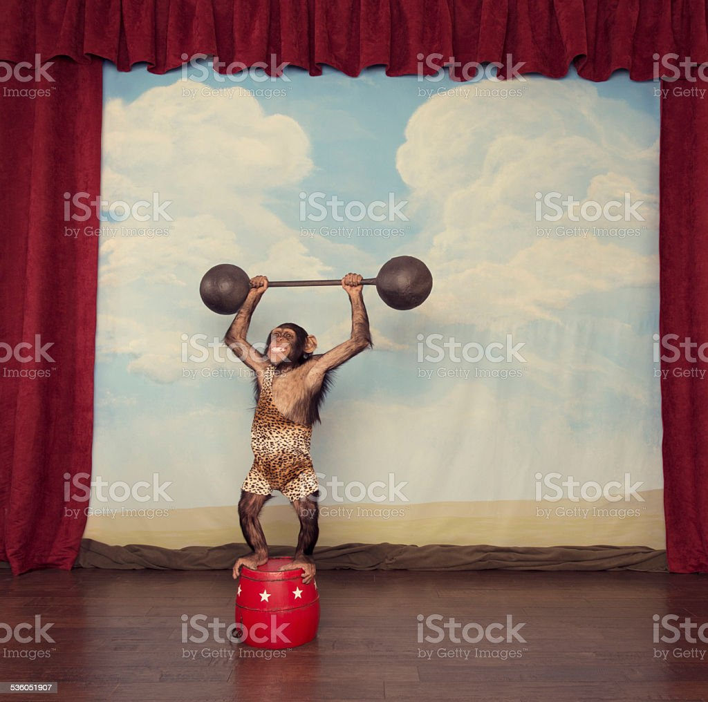 Chimpanzee in Leopard Singlet Lifts Heavy Barbell on Stage stock photo