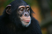 Chimpanzee is stearing something