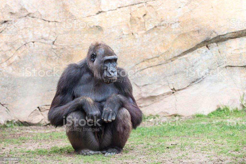 Chimpanzee monkey. stock photo