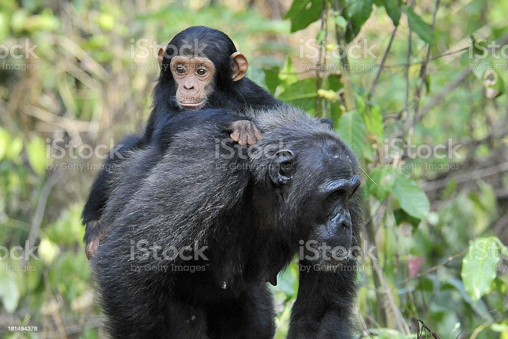 A chimpanzee mother carrying her baby in the forest royalty-free stock photo