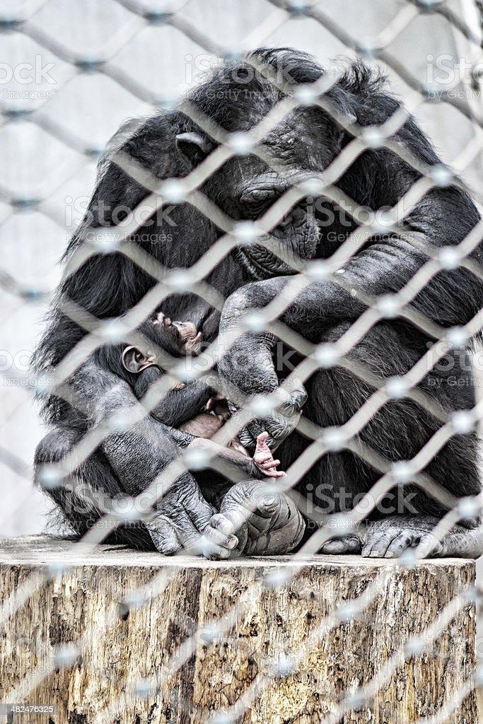 Chimpanzee royalty-free stock photo