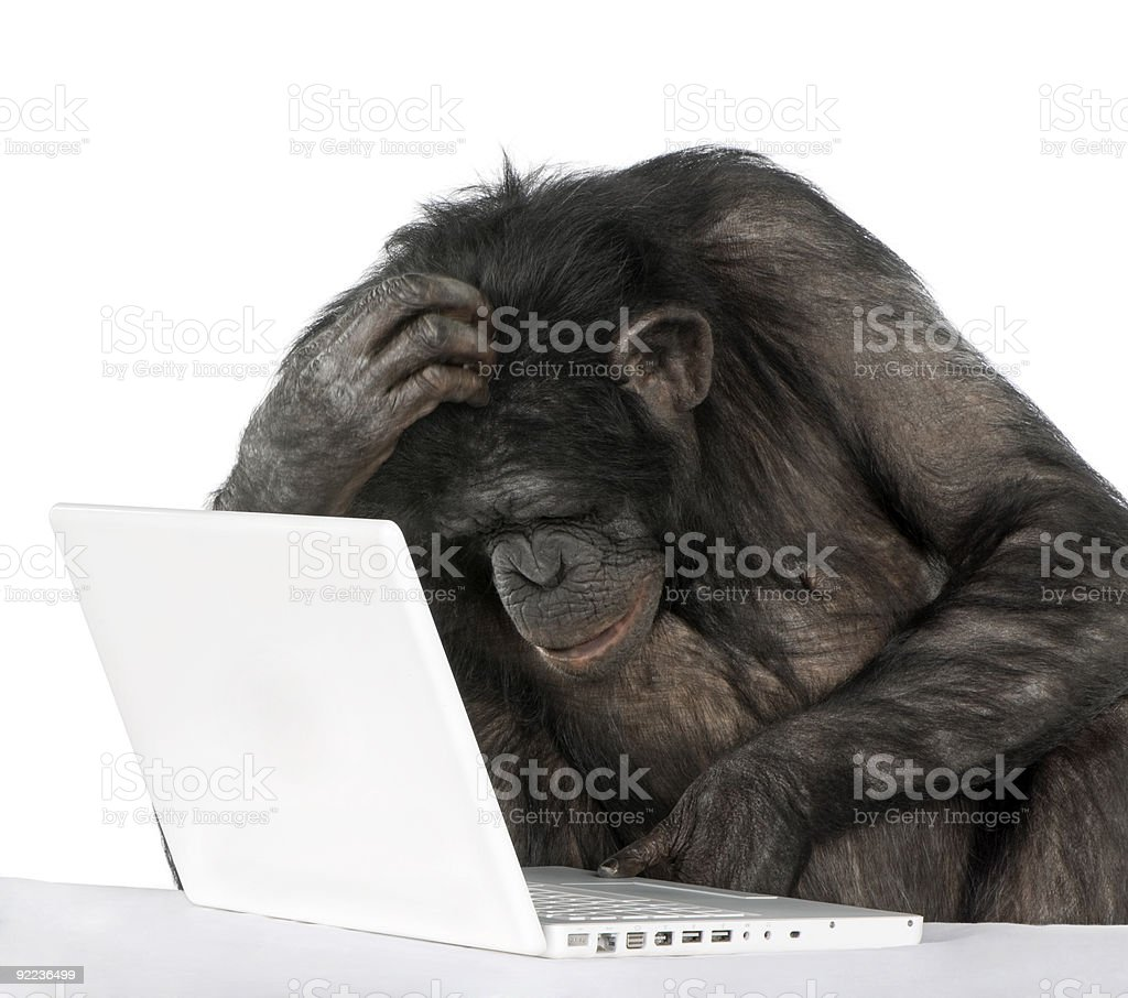 Chimpanzee playing with a laptop stock photo